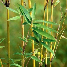 Golden Bamboo pic 3