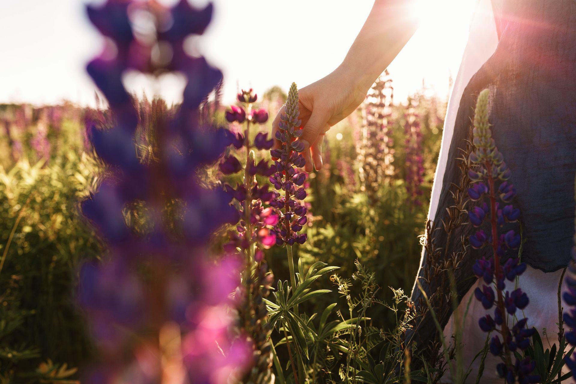 woman-hand-touching-flower-grass-field-with-sunset-light